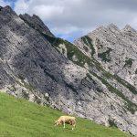 Kuh vor Berg